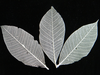 Skeleton leaf ivory 100 pack