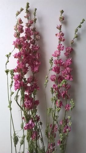 Delphinium bunch dried pink