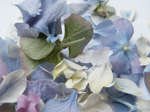 Hydrangea petals freeze dried