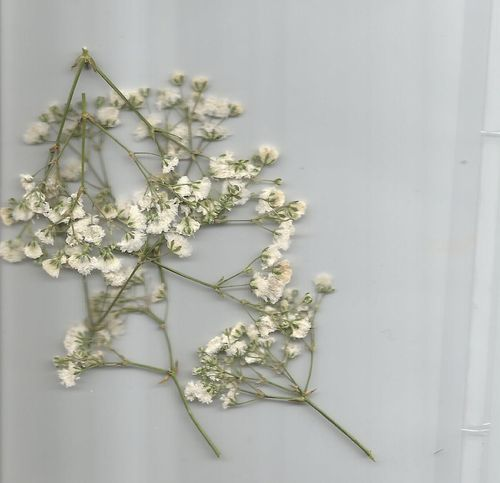 Pressed flowers gypsophilia pack of 7
