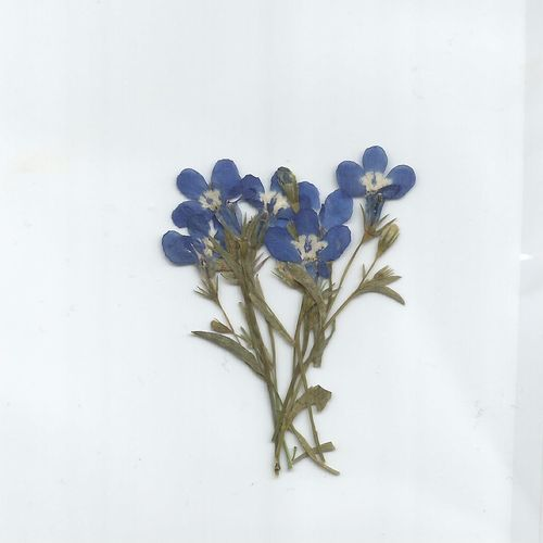 Pressed dried flowers lobelia pack of 7