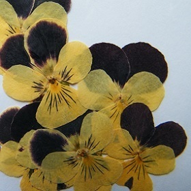 Pressed dried flowers pansy viola pack of 7