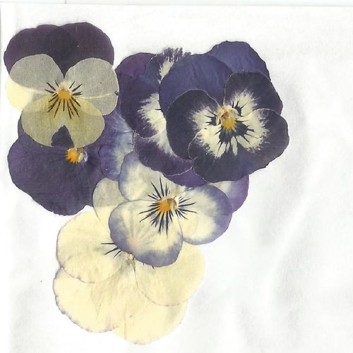 Pressed flowers pansy viola pack of 7