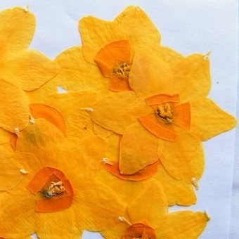 Pressed flowers narcissus daffodil pack of 7
