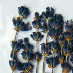 Pressed dried flowers lavender pack of 7