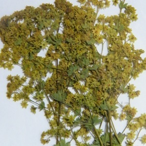 Pressed dried flowers alchemilla mollis pack of 7