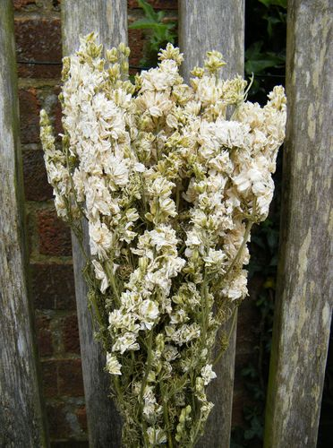 Delphinium bunch dried white UK