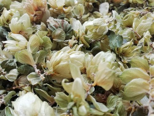 Dried Kentish hops whole