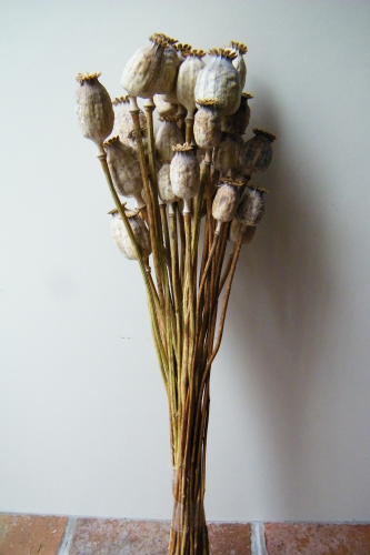 Poppy seed heads bunch large dried flowers daisyshop poppy seed heads bunch large mightylinksfo