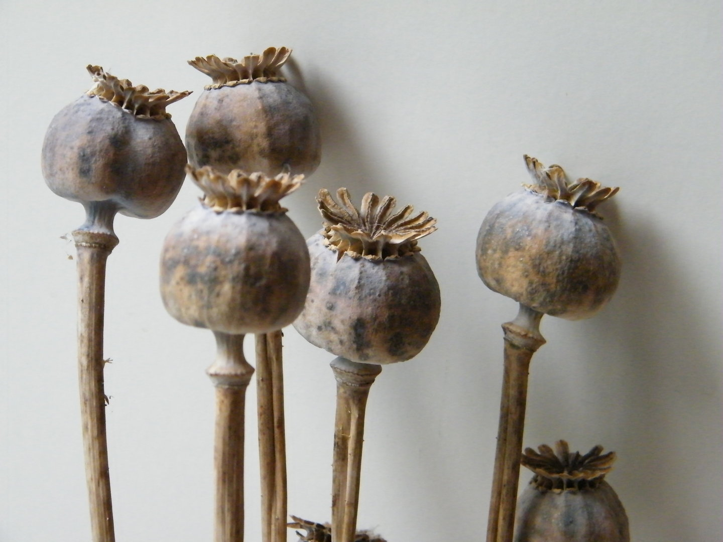 Poppy Seed Heads Bunch Large Dried Flowers Daisyshop
