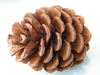 Pine cones natural large, bulk packs