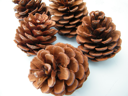 Pine cones natural large bulk packs dried flowers shop for Large pine cones