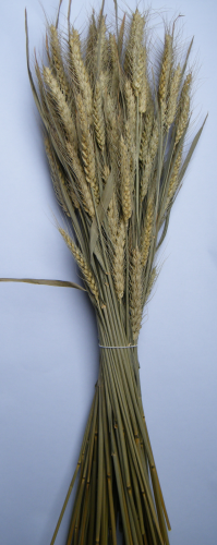 Dried bearded wheat bunch