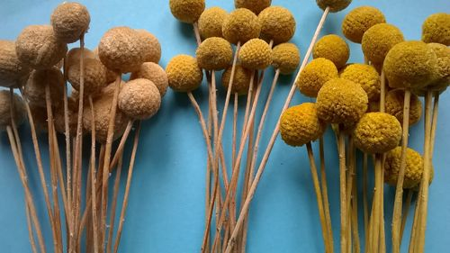Billy buttons bunch - dry flowers bleached