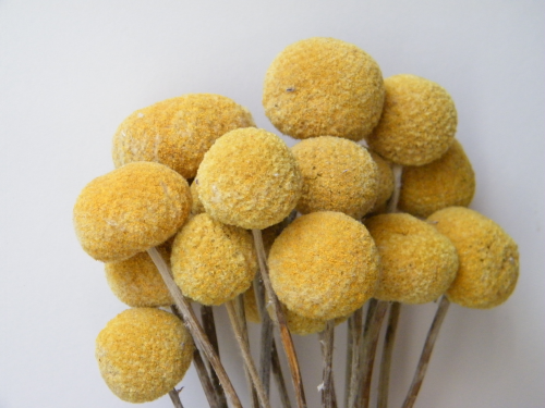 Billy buttons bunch - dry flowers