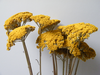 Achillea yarrow yellow dried bunch