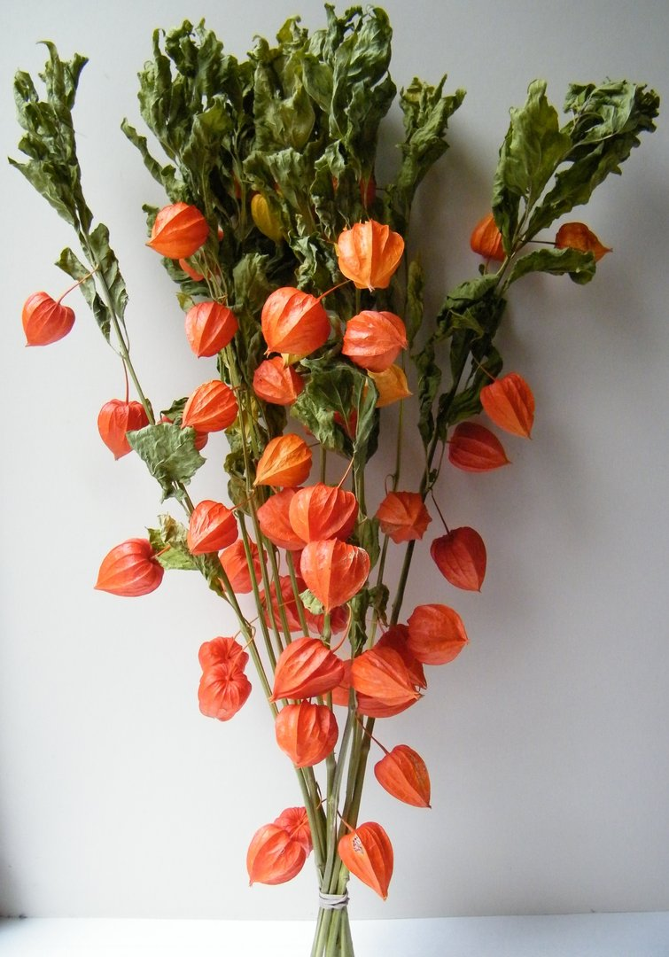 chinese lanterns bunches  physalis seconds  daisyshop for dried, Beautiful flower