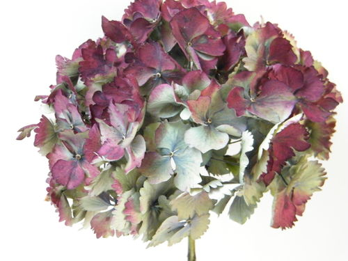 Dried hydrangea flower head red small