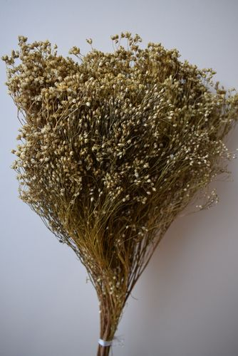 Dried broom blooms