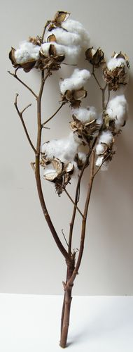 Cotton pods on two stems
