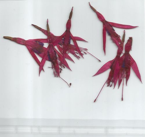 Pressed fuchsia flowers pack of 7
