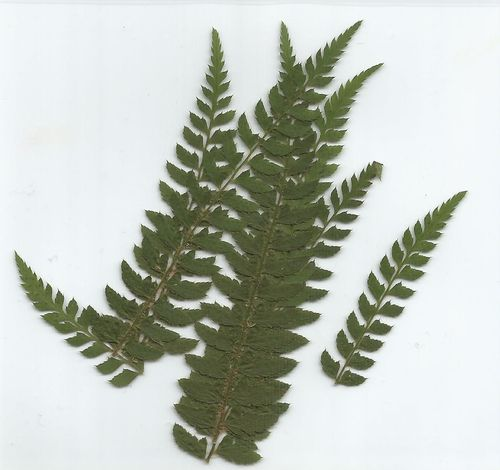 Pressed field fern leaves pack of 7