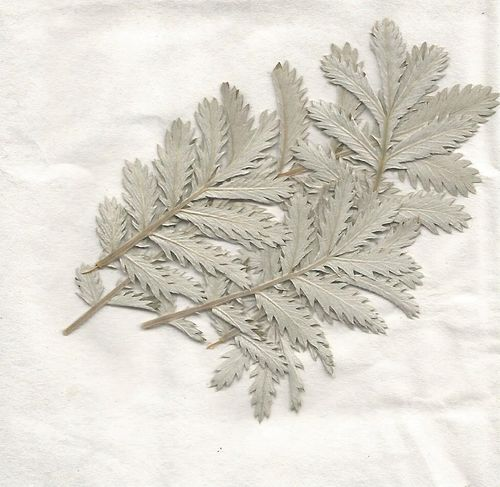 Pressed dried silver leaves pack of 7