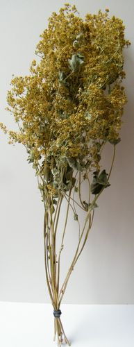 Alchemilla mollis dried flower bunch
