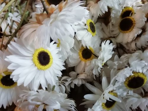 Dried flower bunch white Acroclinium