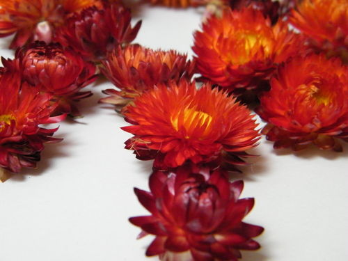 Helichrysum flower heads red