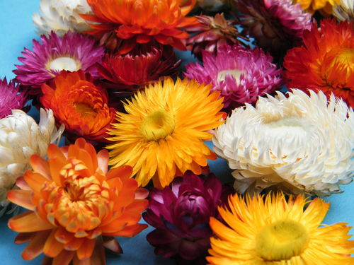 Helichrysum flower heads mixed wholesale