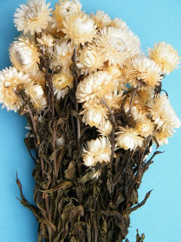 Helichrysum strawflower bunch white
