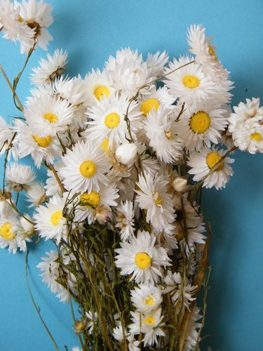 Dried flower bunch white Acroclinium wholesale