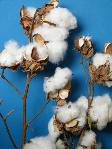 Cotton pods on two stems wholesale