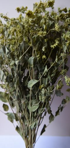 Dried foliage bunch - Bupleurum UK