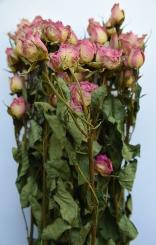 Pink roses dried bunch