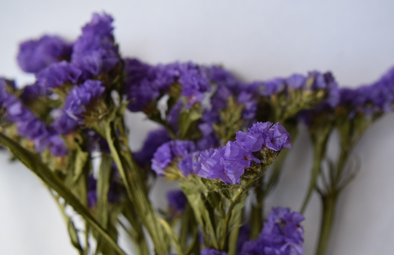Statice dried flowers purple Daisyshop for dried flowers