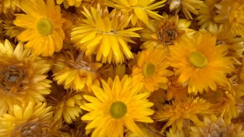 Helichrysum flower heads yellow
