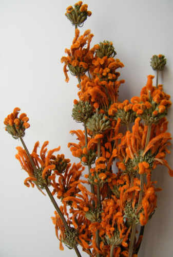 Orange dried flower bunch leonotis wholesale