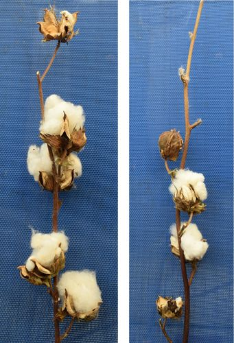 Cotton pods single stem