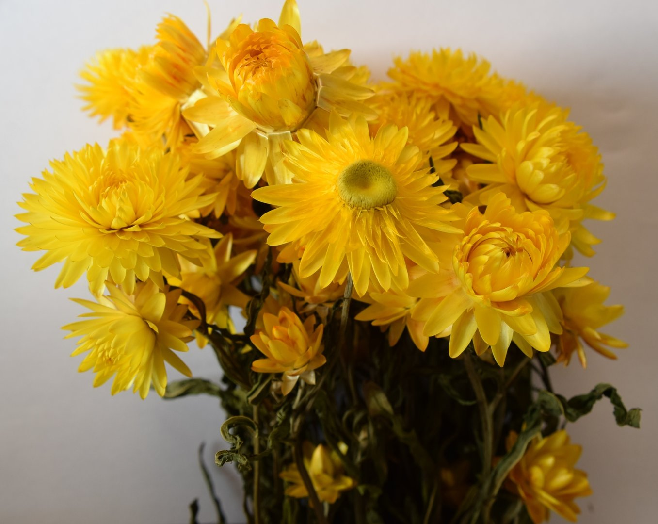 Helichrysum dried flower bunch yellow dried flowers shop helichrysum dried flower bunch yellow mightylinksfo