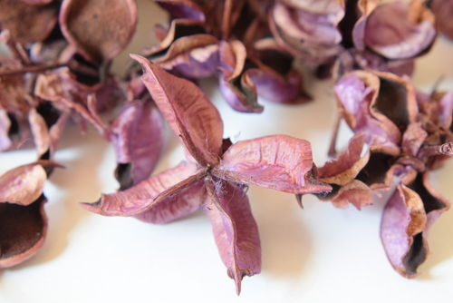 Cotton pods purple for potpourri