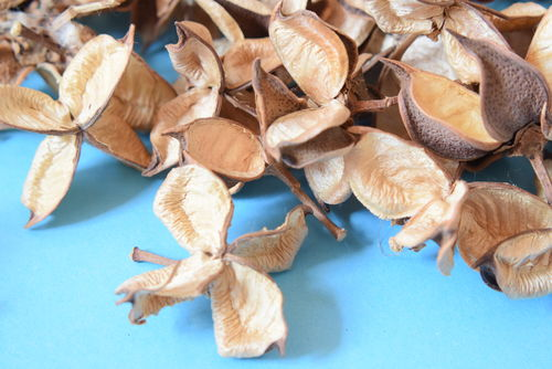 Natural cotton pods for potpourri
