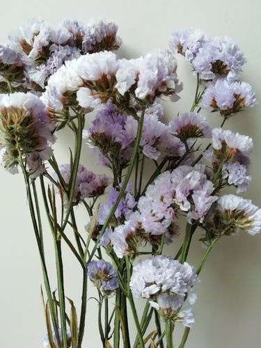 Statice dried flowers lavender colour