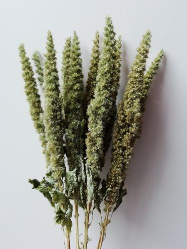 Amaranth dried flowers bunch green