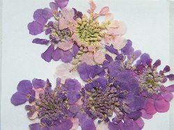 buy British pressed flowers