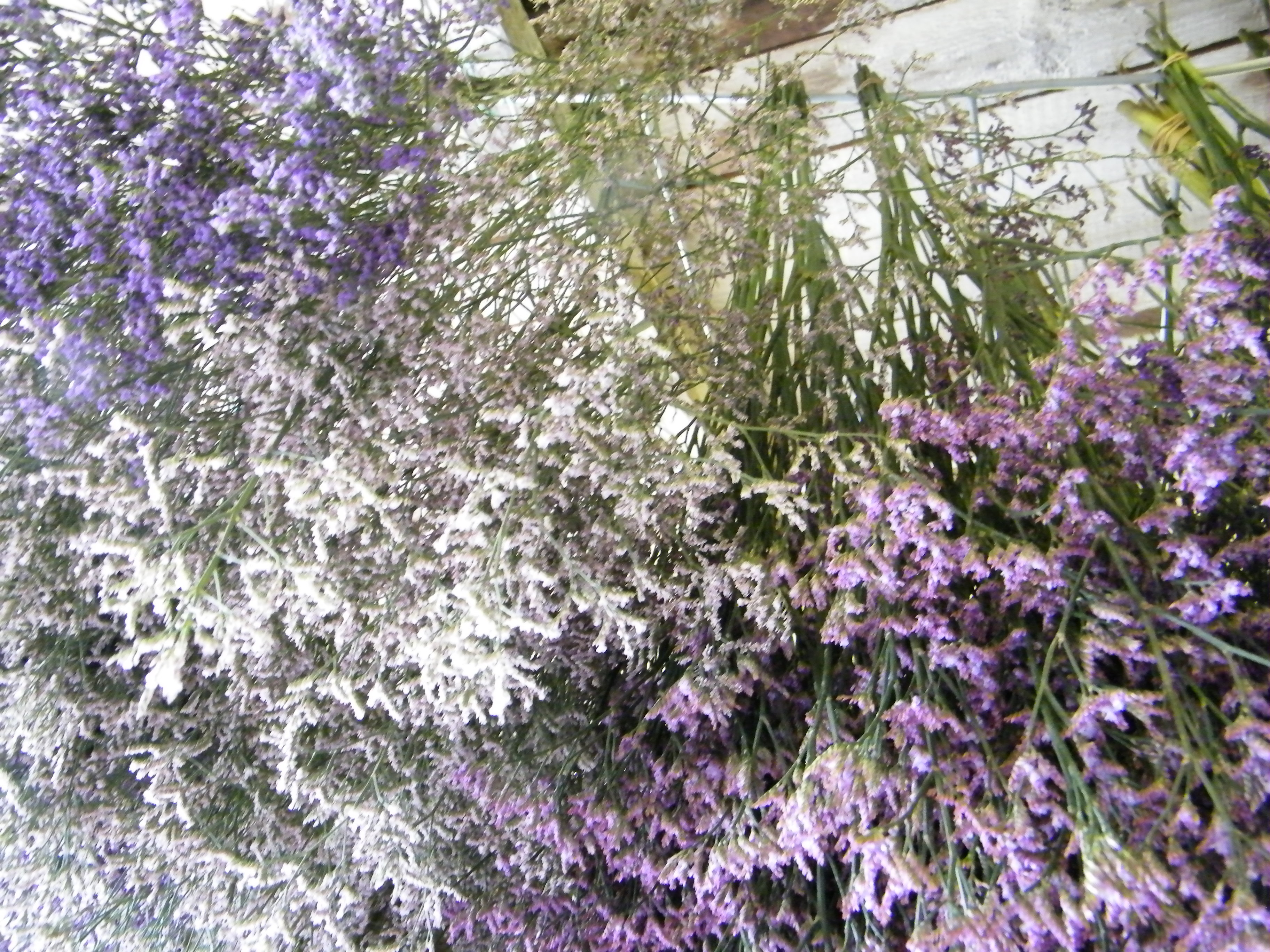 sea lavender flowers drying