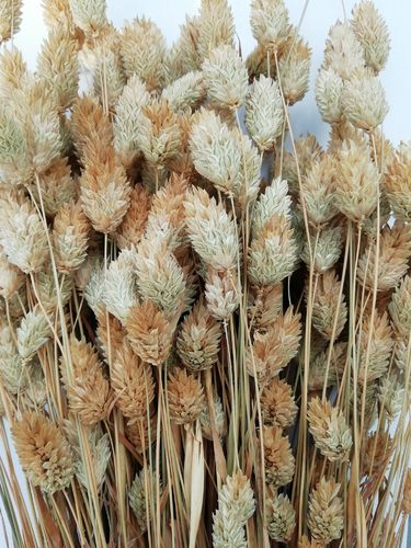 Dried phalaris bunch - canary grass natural