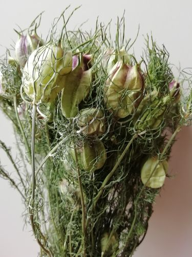Nigella pods bunch natural green
