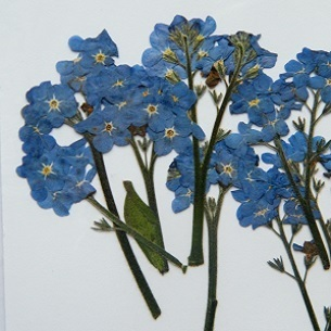 Pressed forget me not flowers pack of 7